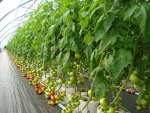 Trellis tomatoes
