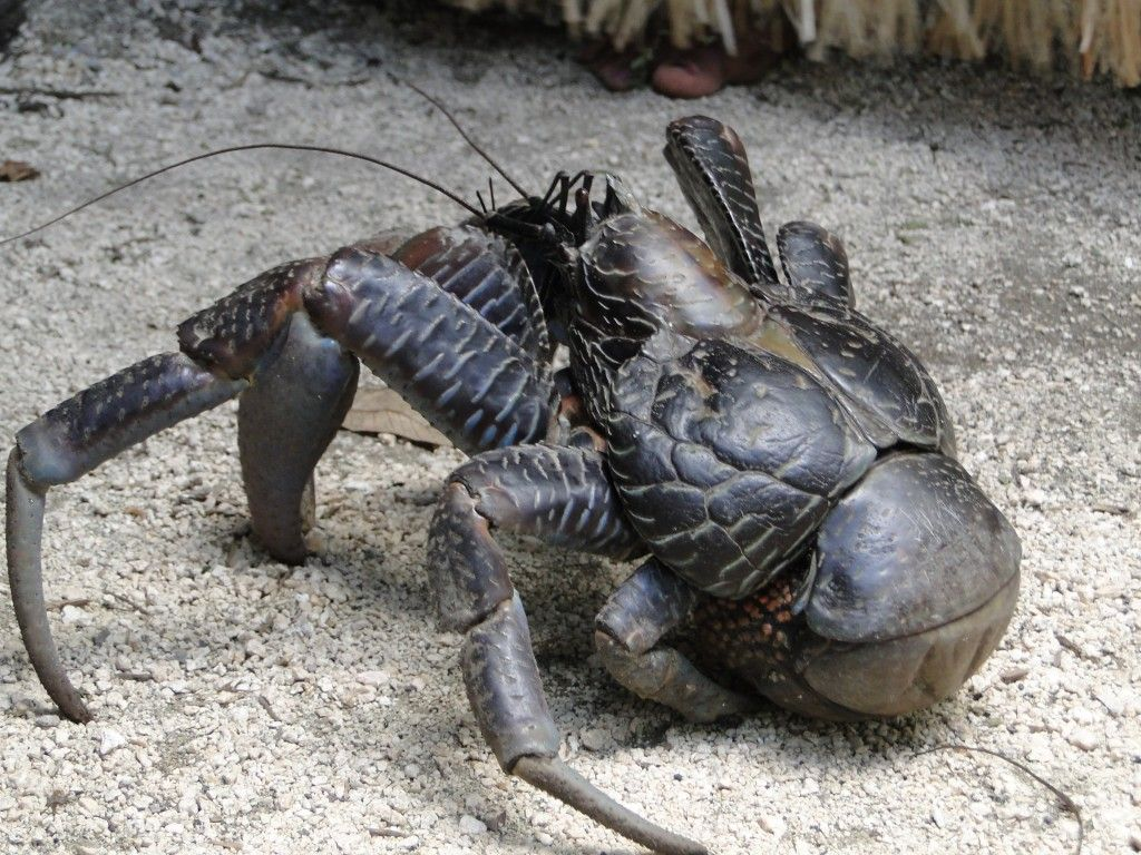 Coconut crab at Secret Gardens, Mele, Vanuatu