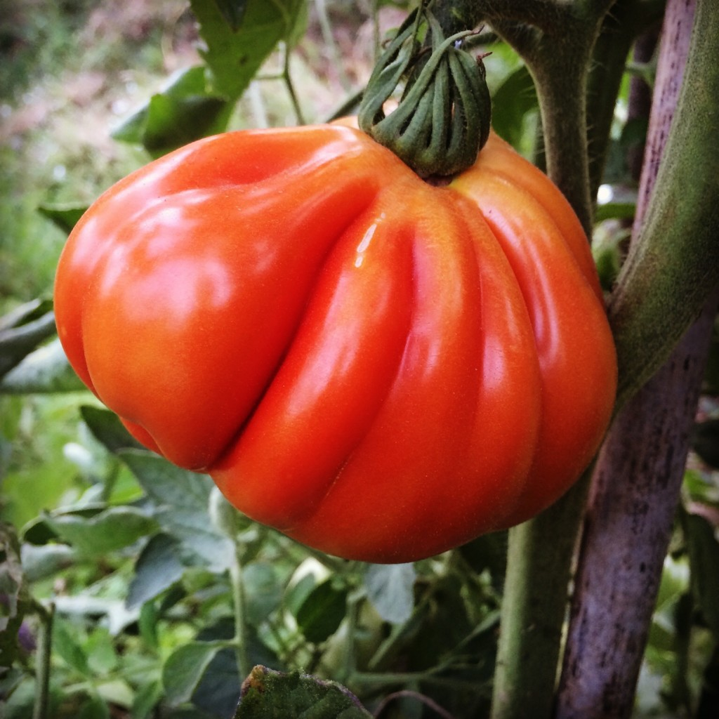 A magnificent 'ox heart' tomato