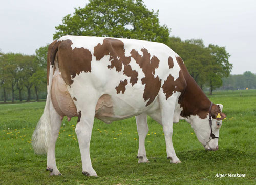 Montbeliarde cow