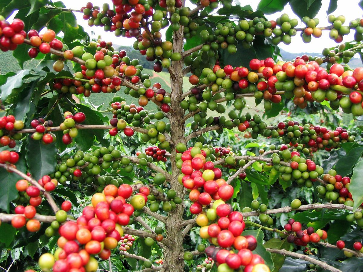 Red, Green And Yellow Beans Growing Simultaneously On A Coffee Tree