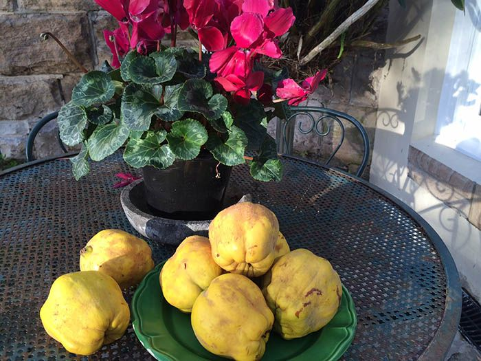 """Quinces with their """"cloaks of ash-coloured down"""""""