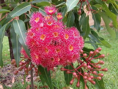 Gum nut blossom